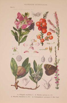 Art Journal Challenge, Vintage Botanical Prints, Prints For Sale, South Africa, Flora, Plate, The Originals, Antiques, Gallery