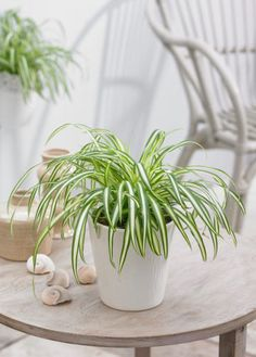 How To Grow Spider Plants Indoors Successfully & Its Care Spider Plant Care Indoors Indoor Plants, Air Plants, Indoor Garden, Coffee Table Plants, Air Cleaning Plants, Chlorophytum, Plants For Hanging Baskets, Growing Plants Indoors, Garden Web