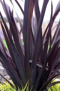 Phormium Black Adder Black New Zealand Flax, Perennial, , San Marcos Growers New Zealand Flax, Organic Gardening Catalogue, Gothic Garden, Black Garden, Drought Tolerant Plants, Foliage Plants, Black Flowers, Ornamental Grasses, Garden Plants