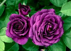 Purchase our Ebb Tide Rose. Deep plum-purple blooms rarely seen! You may never want to grow another rose again. Phenomenal flower power and super hardy pl. Bulb Flowers, Flowers Nature, Flowers In Hair, Flowers Garden, Purple Flowers Wallpaper, Purple Roses, Silver Roses, Plum Purple, Deep Purple