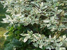 Conus alba 'Elegantissima' LAIKKUKIRJOKANUKKA  Pensaskanukat ovat leveitä aidanne- ja suojakasveja. Laikkukirjokanukka tunnetaan myös 'Argenteomarginatan' nimellä. Lehdet ovat leveälti valkolaitaiset, minkä vuoksi pensas erottuu hyvin varjossa. Talvella maisemassa erottuvat kauniin ruskeanpunaiset oksat. Lehdistö: Leveälti valkolaitainen ja –laikkuinen, syysväri kellertävä. Kukinta: Valkoiset kukat kesäkuussa. Marjat: Luumarjat ovat valkoiset tai sinertävät ja syömäkelvottomat. Kasvupaikka…