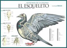 El Esqueleto de la Paloma - Pigeon Skeleton diagram
