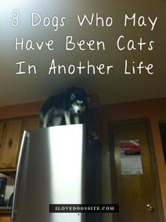 WOW, imagine coming home to see what's in pic #8, LOL!!! http://theilovedogssite.com/8-dogs-who-may-have-been-cats-in-another-life/