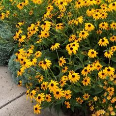 Ground Cover Flowers, Golden Rain Tree, Butterfly Weed, Soil Texture, Herbaceous Perennials, Plants Online, Fall Plants, Black Eyed Susan, Down South