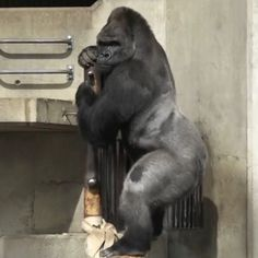 This Gorilla Is So Handsome, Women Are Flocking To The Zoo To See Him