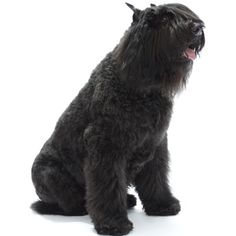 Bouvier des Flandres - that is one furry dog
