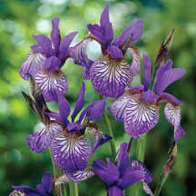"Siberian Iris ""Shakers Prayer"""