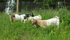 keeping Nigerian dwarf goats