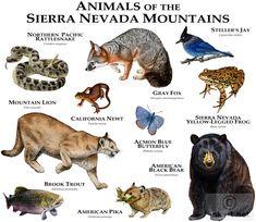 Animals of the Sierra Nevada Mountains Tee Animals Of The World, Animals And Pets, Cute Animals, Animal Dictionary, Animal Plates, American Black Bear, West Coast Road Trip, Animal Facts, Mundo Animal