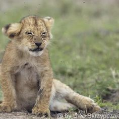 Looks Like This Lion Cub is Really in Need of His Mama.