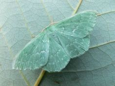 An emerald moth with tones of seafoam green and citrine. Gorgeous color scheme.