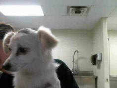 This DOG - ID#A103195 I am a female, white and tan Chihuahua - Long Haired mix. The shelter staff think I am about 1 year old. I have been at the shelter since May 09, 2014. Visit me at Pasadena Animal Shelter  5150 Burke RD, Pasadena, TX 77504 281-991-0602