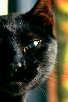 For the Love of Black Cats (Black Cat Appreciation Page) Beautiful Cats, Animals Beautiful, Cute Animals, Crazy Cat Lady, Crazy Cats, I Love Cats, Cool Cats, Kittens Cutest, Cats And Kittens
