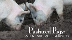 Pastured Pigs: What We've Learned....from awesome land tillers to delicious bacon, pigs are a homestead win!
