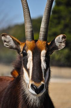 Sable Antelope (Hippotragus niger) Amazing colors