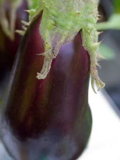 Aubergine, also known as EggPlant, how to grow it from grow veg..