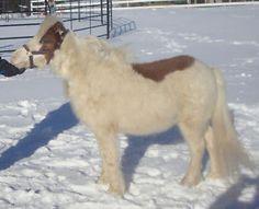 Miniature Horse-Silver bay tovero! Youth show gelding City of Toronto Toronto (GTA) image 3