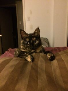 Wide eyed tortoise shell cat #tortie