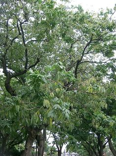 The soap nut tree Sapindus Mukorossi aka Indian Soapberry is a very large tree that produces prodigious amounts of a soaponifying nut that you can use as a greywater safe laundry detergent, dish and hand soap. Mrs.