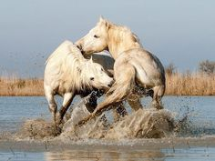 Camargue Stallions Play-Fighting in Water by John Hallam The stallions were brought to the pond, for them to interact. There was a big age difference, so they were not very active. Any apparent action was play-fighting and not serious aggression Pretty Horses, Horse Love, Beautiful Horses, Animals Beautiful, Zebras, Horse Photography, Wildlife Photography, Play Fighting, Wild Spirit