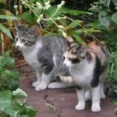 「鈴子のお兄ちゃん」 鈴子の超イケメンお兄様。まあ、正確には弟かお兄さんかは不明ですが😅私のインスタ初期にアップしてる、超美形のグレイ猫ちゃんは、この子です。鈴子は、五つ子ちゃんなのでした🌸鈴子を拾ったきっかけは、触れるようになったので、避妊手術だけでもしてあげようという動機だと、前にも書きましたが、半年経っていたので、正直もう身ごもっちゃってるかなあと心配でした😅結果、おなかに赤ちゃんはいなくて、ホッとしましたが、男兄弟が二人もいて、純潔を守っていたとは、鈴子の兄妹は、紳士だったんだなあと、感動しました😊  #ニャンコ#ねこさん#にゃんこ#pet#猫#ねこ#ネコ#にゃんだふるらいふ#ネコ部#ねこ部#にゃんすたぐらむ#ニャンスタグラム#cat#cats#可愛い#かわいい#かわいすぎる#三毛猫#飼い猫#美猫#美しい#cute#ねこ大好き#猫大好き#ねこ好き#猫好き#ねこちゃん#愛猫#ノラ猫
