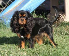 This  is an very cute King Charles Cavalier Spaniel