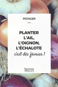 Ail, oignon et échalote sont trois alliacées indispensables au potager qui se plantent dès février. Voici nos conseils pour les choisir !
