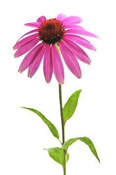 E is for Emergency: How To Make Echinacea Tinctures   Body Enlightenment Blog: A collection of thousands of articles, recipes and inspiration for healthy, happier living.