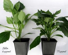 How to make new plants from your herbs.