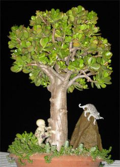 Jade Money Tree Bonsai Crassula Ovata Plant , 25 yr old in | eBay