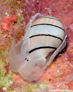Week Nudibranch: Hydatina amplustre – What a Face! Underwater Creatures, Underwater Life, Ocean Creatures, Under The Ocean, Sea And Ocean, Aquariums, Beneath The Sea, Sea Snail, Sea Slug