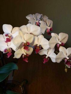Моя орхидея фаленопсис гибрид.