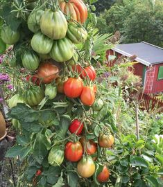 Growing tomato plants from seeds is not that difficult and it is extremely rewarding. Phenomenal Growing Tomatoes from Seeds Ideas. Growing Tomatoes From Seed, Growing Tomato Plants, Growing Vegetables, Fruits And Vegetables, Grow Tomatoes, Types Of Fruit, Growing Gardens, Tomato Garden, Grow Your Own Food