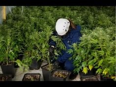 The Problems With Legalized Pot with Joe Grumbine of The Human Solution