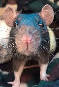Rat Fan Club                                                                                                                                                                                 More