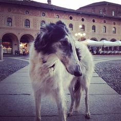Good evening from Azu... #borzoi #AskAzu