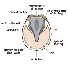 Horse Hoof Anatomy - bottom of a horse's hoof.