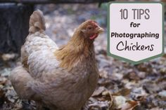 Meredith of ImaginAcres is going to tell you exactly how to capture the personality and beauty of our feathered friends.  In this article she reveals her secrets and tells you about her top ten tips for photographing chickens. These tips can be used for photographing any animal, the same rules apply.