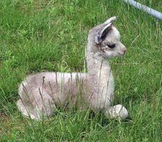 Baby. Llama.  omg.