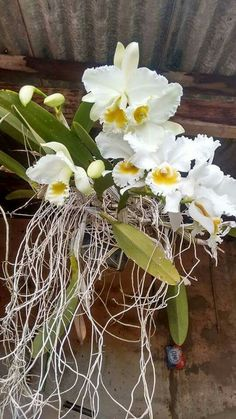 Most Beautiful Flowers, Exotic Flowers, Pretty Flowers, Orchid Plants, All Plants, Orchids, Begonia, Orquideas Cymbidium, Virtual Flowers