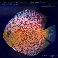 we eat fish on potatoe farm Discus Aquarium, Discus Fish, Freshwater Aquarium Fish, Saltwater Aquarium, Underwater Life, Angel Fish, Beautiful Fish, Exotic Fish, Tropical Fish