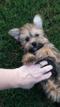 Wicket the Havashire puppy. New Puppy, Puppy Love, Pet Dogs, Pets, Doggies, Little Critter, Beautiful Creatures, Make Me Smile, Cute Puppies