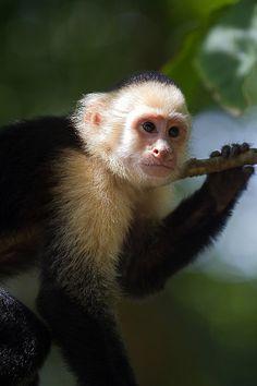 Capuchin Monkey | Flickr - Photo Sharing!