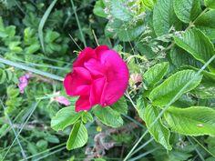 Wildrose pink Rose, Flowers, Plants, Pink, Florals, Photo Illustration, Roses, Hot Pink, Plant