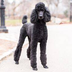 "Tango, Standard Poodle (5 y/o), Central Park, New York, NY • ""He loves people and is very smart."""