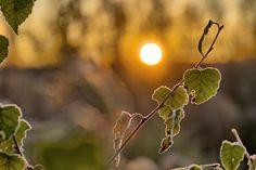 Frozen birch branch