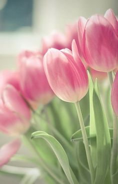 Tulips are beautiful 💕 💕 Pink Tulips, Tulips Flowers, Flowers Nature, Pretty Flowers, Spring Flowers, Tulips Garden, Planting Flowers, Flower Backgrounds, Flower Wallpaper