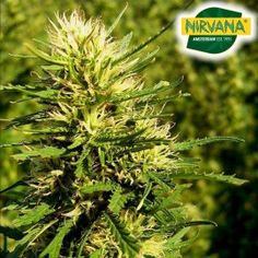 Nebula CBD Feminized by Nirvana Seeds is a fast flowering, easy to grow strain that has a THC and CBD ratio of 1:1. A strain that will induce a powerful, euphoric high that can be enjoyed socially and for medical use. Buy now. Indica Strains, Spicy Honey, Types Of Plants, Nirvana, Cannabis, South Africa, Seeds, Medical, Easy
