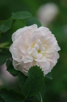 Alba Rose: Rosa 'Jeanne d'Arc' (France, 1818)