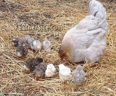 Hedemora Hen with chicks  I <3 this breed!